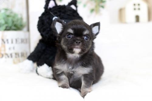 チワワ(ロング)の子犬(ID:1255411865)の1枚目の写真/更新日:2018-06-05