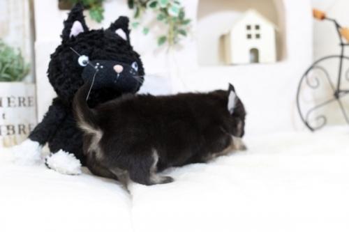 チワワ(ロング)の子犬(ID:1255411865)の2枚目の写真/更新日:2018-01-12