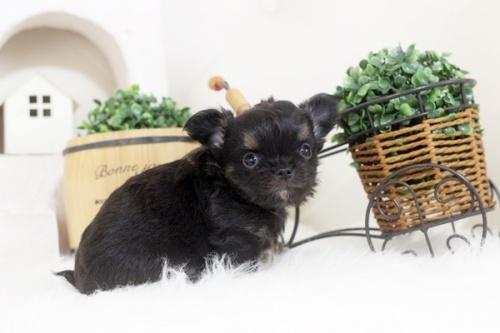 チワワ(ロング)の子犬(ID:1255411866)の1枚目の写真/更新日:2017-12-22