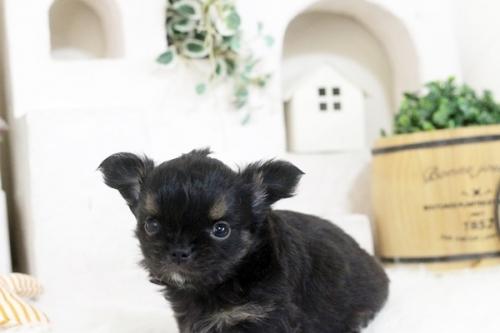 チワワ(ロング)の子犬(ID:1255411866)の2枚目の写真/更新日:2017-12-22