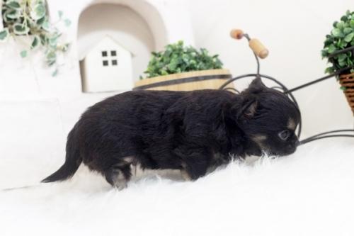 チワワ(ロング)の子犬(ID:1255411866)の3枚目の写真/更新日:2017-12-22