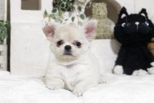 チワワ(ロング)の子犬(ID:1255411867)の1枚目の写真/更新日:2018-12-07