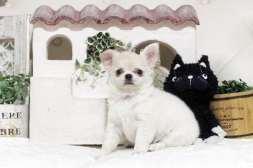 チワワ(ロング)の子犬(ID:1255411867)の2枚目の写真/更新日:2018-01-12