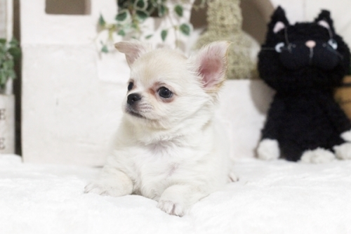 チワワ(ロング)の子犬(ID:1255411867)の3枚目の写真/更新日:2018-12-07