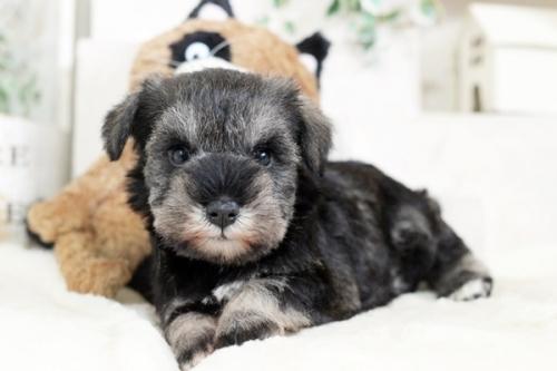 ミニチュアシュナウザーの子犬(ID:1255411869)の1枚目の写真/更新日:2017-12-29