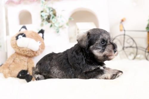 ミニチュアシュナウザーの子犬(ID:1255411869)の2枚目の写真/更新日:2017-12-29