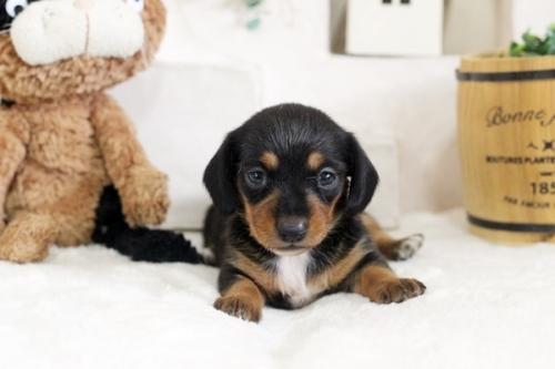 カニンヘンダックスフンド(ロング)の子犬(ID:1255411870)の1枚目の写真/更新日:2017-12-29
