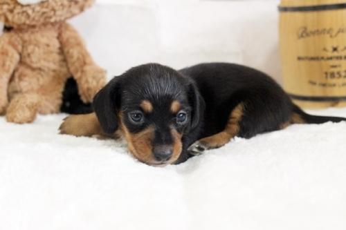 カニンヘンダックスフンド(ロング)の子犬(ID:1255411870)の3枚目の写真/更新日:2017-12-29