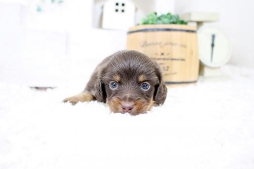 カニンヘンダックスフンド(ロング)の子犬(ID:1255411871)の1枚目の写真/更新日:2017-12-29