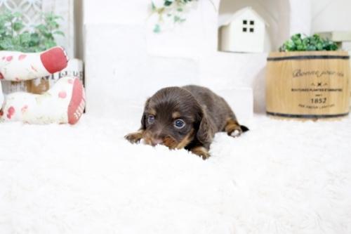カニンヘンダックスフンド(ロング)の子犬(ID:1255411871)の3枚目の写真/更新日:2017-12-29