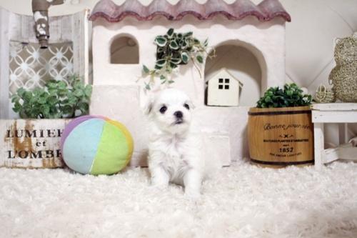 マルチーズの子犬(ID:1255411872)の1枚目の写真/更新日:2018-01-12