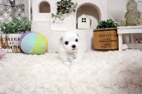 マルチーズの子犬(ID:1255411872)の2枚目の写真/更新日:2018-01-12