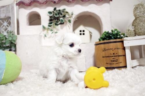 マルチーズの子犬(ID:1255411872)の3枚目の写真/更新日:2021-10-05