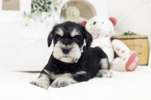 ミニチュアシュナウザーの子犬(ID:1255411873)の1枚目の写真/更新日:2021-02-05