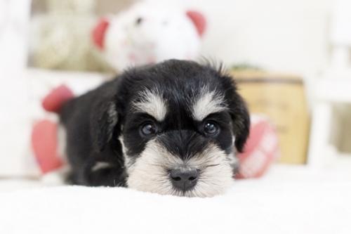 ミニチュアシュナウザーの子犬(ID:1255411873)の2枚目の写真/更新日:2018-01-12
