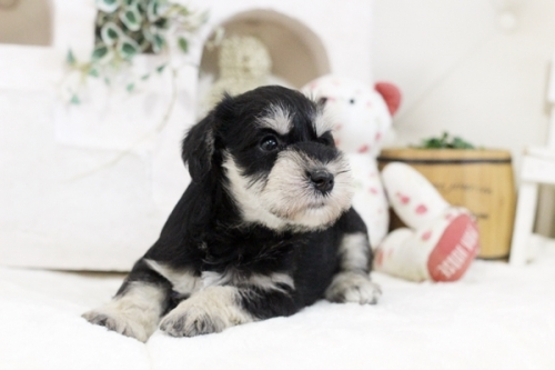 ミニチュアシュナウザーの子犬(ID:1255411873)の3枚目の写真/更新日:2021-02-05