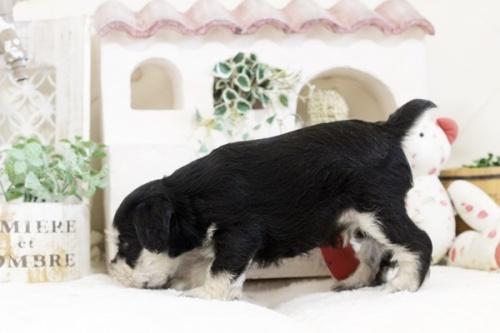 ミニチュアシュナウザーの子犬(ID:1255411873)の4枚目の写真/更新日:2021-02-05