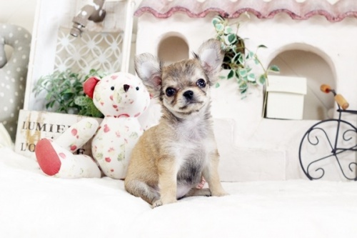 チワワ(ロング)の子犬(ID:1255411874)の1枚目の写真/更新日:2018-01-17
