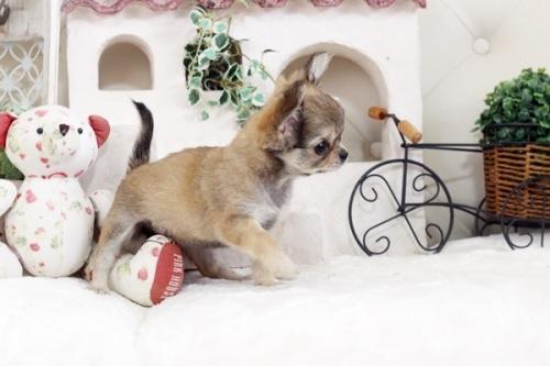 チワワ(ロング)の子犬(ID:1255411874)の2枚目の写真/更新日:2018-02-11