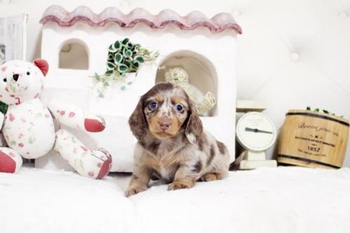 カニンヘンダックスフンド(ロング)の子犬(ID:1255411875)の1枚目の写真/更新日:2018-02-11