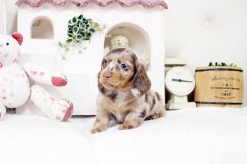 カニンヘンダックスフンド(ロング)の子犬(ID:1255411875)の2枚目の写真/更新日:2018-02-11