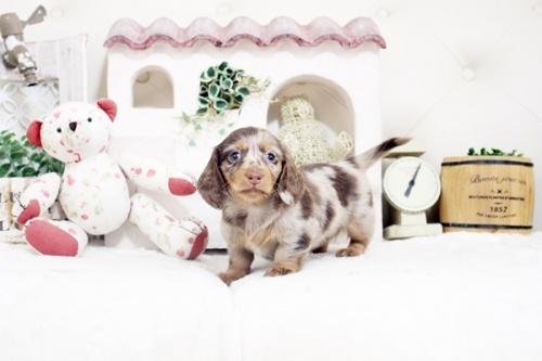 カニンヘンダックスフンド(ロング)の子犬(ID:1255411875)の3枚目の写真/更新日:2018-02-11