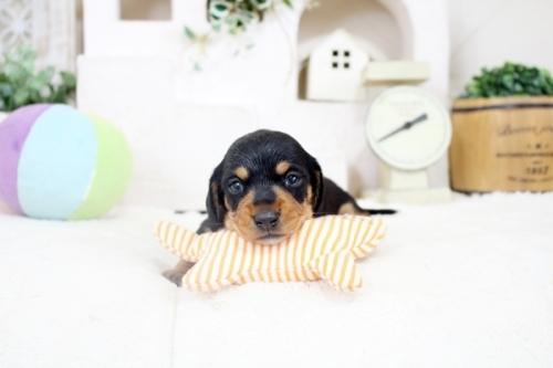 カニンヘンダックスフンド(ワイアー)の子犬(ID:1255411876)の1枚目の写真/更新日:2020-06-05