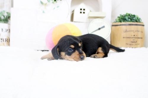 カニンヘンダックスフンド(ロング)の子犬(ID:1255411876)の3枚目の写真/更新日:2018-02-11