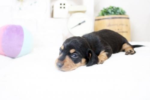 カニンヘンダックスフンド(ロング)の子犬(ID:1255411876)の4枚目の写真/更新日:2018-02-11