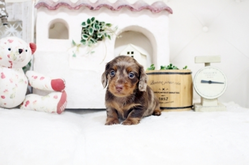 カニンヘンダックスフンド(ロング)の子犬(ID:1255411877)の1枚目の写真/更新日:2018-01-17