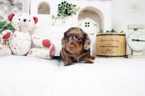 カニンヘンダックスフンド(ロング)の子犬(ID:1255411877)の2枚目の写真/更新日:2018-01-17