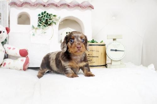 カニンヘンダックスフンド(ロング)の子犬(ID:1255411877)の3枚目の写真/更新日:2021-05-13