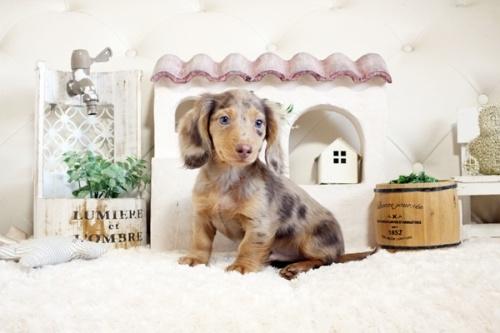 カニンヘンダックスフンド(ロング)の子犬(ID:1255411878)の1枚目の写真/更新日:2019-04-23