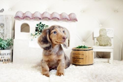 カニンヘンダックスフンド(ロング)の子犬(ID:1255411878)の2枚目の写真/更新日:2019-04-23