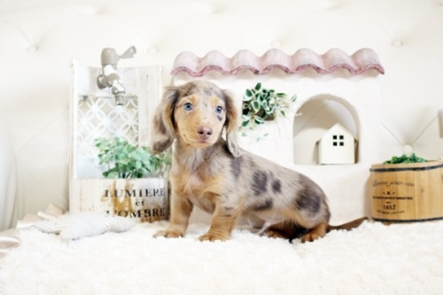 カニンヘンダックスフンド(ロング)の子犬(ID:1255411878)の3枚目の写真/更新日:2019-04-23