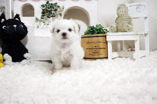 マルチーズの子犬(ID:1255411879)の1枚目の写真/更新日:2021-10-05