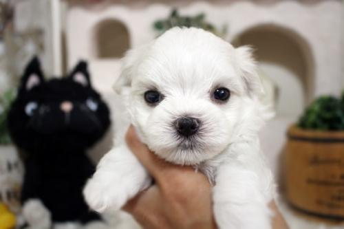 マルチーズの子犬(ID:1255411879)の2枚目の写真/更新日:2018-01-24