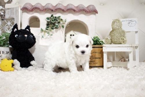 マルチーズの子犬(ID:1255411879)の3枚目の写真/更新日:2018-01-24