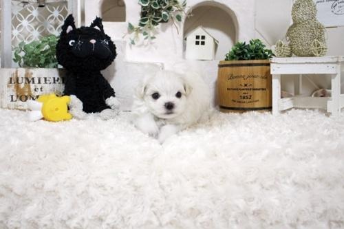 マルチーズの子犬(ID:1255411879)の4枚目の写真/更新日:2021-10-05