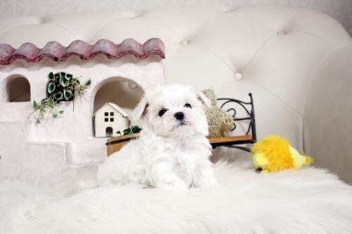 マルチーズの子犬(ID:1255411880)の2枚目の写真/更新日:2018-01-24