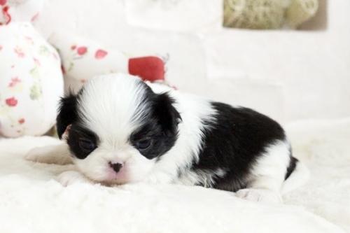 狆(チン)の子犬(ID:1255411881)の2枚目の写真/更新日:2018-01-24