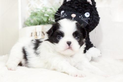 狆(チン)の子犬(ID:1255411882)の1枚目の写真/更新日:2018-01-24