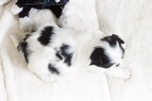 狆(チン)の子犬(ID:1255411882)の2枚目の写真/更新日:2018-01-24