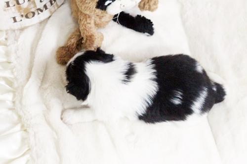 狆(チン)の子犬(ID:1255411883)の2枚目の写真/更新日:2018-01-24