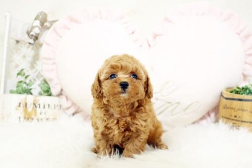 トイプードルの子犬(ID:1255411884)の1枚目の写真/更新日:2018-02-05