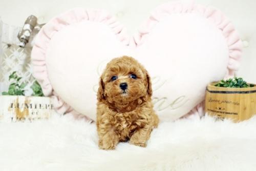 トイプードルの子犬(ID:1255411884)の2枚目の写真/更新日:2018-02-05