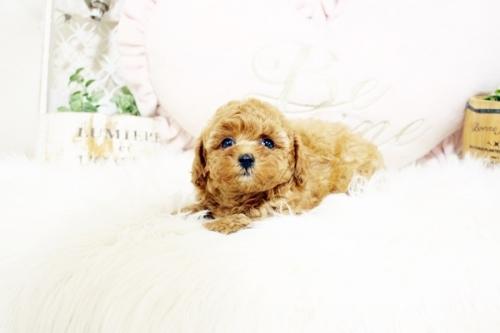 トイプードルの子犬(ID:1255411884)の3枚目の写真/更新日:2018-02-05