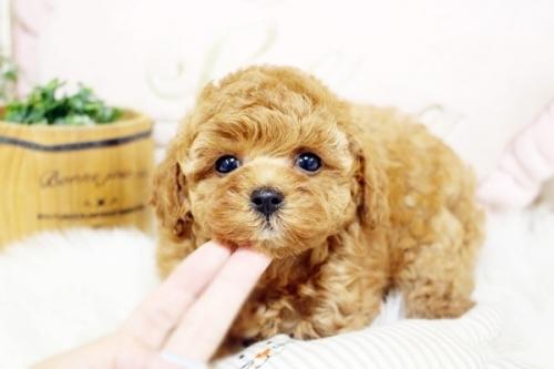 トイプードルの子犬(ID:1255411884)の4枚目の写真/更新日:2018-02-05