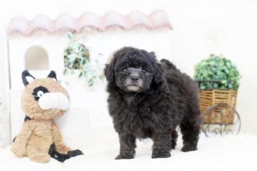 トイプードルの子犬(ID:1255411885)の1枚目の写真/更新日:2018-02-05