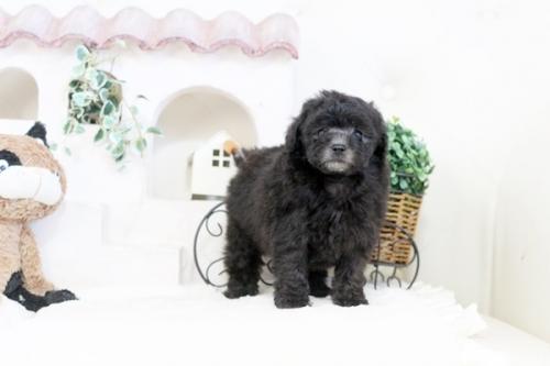 トイプードルの子犬(ID:1255411885)の2枚目の写真/更新日:2018-02-05
